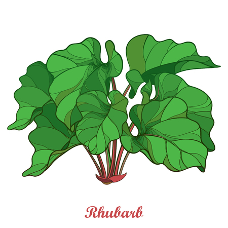 Bush with outline Rhubarb or Rheum vegetable in green isolated on white background. Ornate leaf of Rhubarb bunch in contour style for organic food or medicinal design. Ilustracja