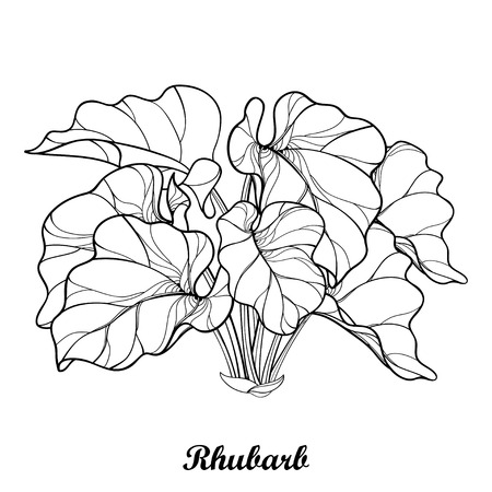 Bush with outline Rhubarb or Rheum isolated on white background. Ornate leaf of Rhubarb bunch in contour style for organic food or medicinal design and coloring book. Stock Illustratie