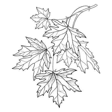Ramo con contorno Acer o foglie di acero ornato in nero isolato su priorità bassa bianca. Composizione con fogliame dell'albero di acero in stile contorno per disegno autunnale o libro da colorare.