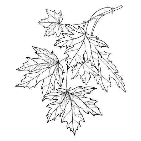 Branch with outline Acer or Maple ornate leaves in black isolated on white background. Composition with foliage of Maple tree in contour style for autumn design or coloring book.