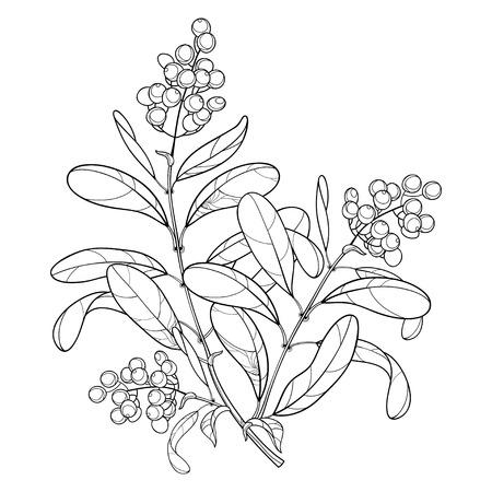 Zweig mit Umriss giftiger Pflanze. Liguster oder Ligustrum. Fruchtbündel, Beere und verziertes Blatt in Schwarz lokalisiert auf weißem Hintergrund. Kontur Ligusterbaum für Herbst Design oder Malbuch.