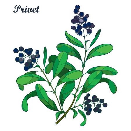 Zweig mit Umriss giftiger Pflanze. Liguster oder Ligustrum. Fruchtbündel, schwarze Beere und verziertes grünes Laub lokalisiert auf weißem Hintergrund. Kontur Ligusterbaum für Herbstgestaltung.