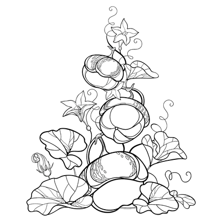Composition du contour de la vigne de citrouille avec fleur, feuille ornée en noir isolé sur fond blanc. Contour de légume de citrouille pour le jour de Thanksgiving, conception d'automne, Halloween ou livre de coloriage.