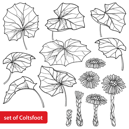 Set with outline on white background. Contour medicinal plant coltsfoot for herbal design or coloring book.