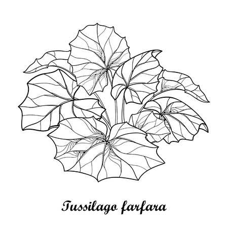 Bush with outline tussilago farfara or coltsfoot or foalfoot Contour medicinal plant coltsfoot for herbal design or coloring book.