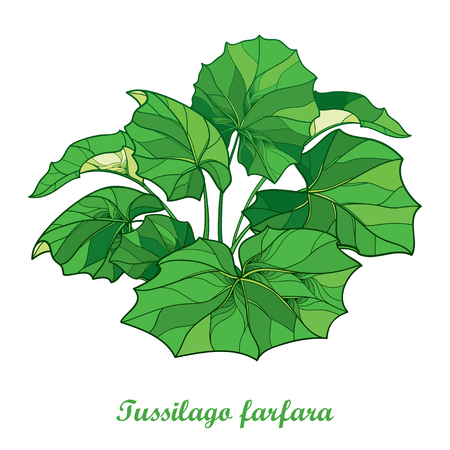 Bush with outline tussilago farfara or coltsfoot or foalfoot with ornate green leaves isolated on white background. Foliage of medicinal plant coltsfoot in contour style for herbal design.