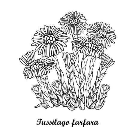 Bush with outline Contour medicinal plant coltsfoot for herbal design or coloring book. Ilustração