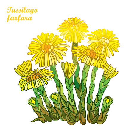 Isolated on white background. Bush with outline. Tussilago farfara or coltsfoot or foalfoot. Blossom of medicinal plant coltsfoot in contour style for herbal design. Illustration