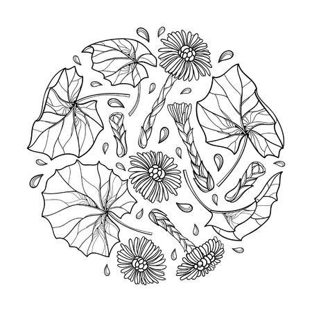 Bouquet rond avec contour sur fond blanc. Tussilage de plante médicinale de contour pour la conception de fines herbes ou le livre de coloriage.