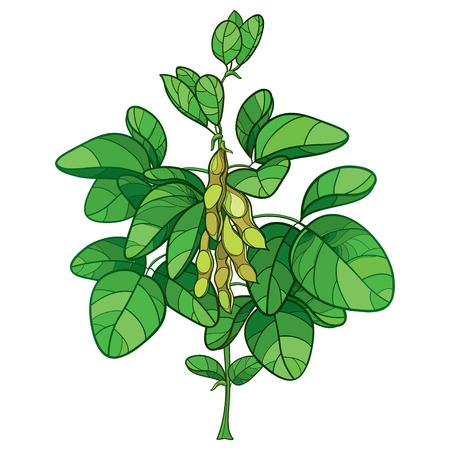 Bouquet avec contour et feuilles vertes isolés sur fond blanc. Buisson de légumineuse Soja dans le style de contour pour le dessin d'aliments végétariens.