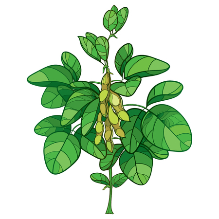 Bunch with outline and green leaves isolated on white background. Bush of legume plant Soya in contour style for vegetarian food drawing.
