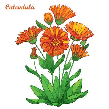 Bouquet with outline flower background isolated on white background. Contour medicinal plant Calendula for summer herbal design.