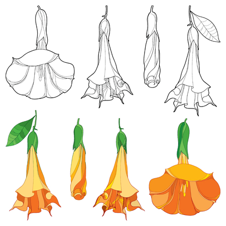 Set with a white background. Contour ornate Brugmansia for tropical summer design or coloring book. Illustration