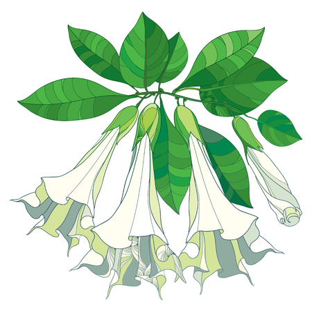 Branch with Brugmansia Arborea or Angels Trumpets flowers. Outline flower, bud and green leaves isolated on white background. Contour bunch of ornate Brugmansia for tropical summer design.