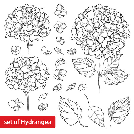 Set with outline flower background. Hydrangea contour ornamental garden plant for summer design and coloring book.