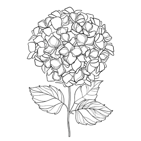 Drawing of the outline of a white background. Hydrangea contour ornamental garden plant for summer design and coloring book.