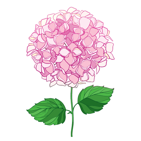 Drawing of the outline of a flower bouquet in pink and oriental leaves. Contour ornamental garden plant Hydrangea for summer design.