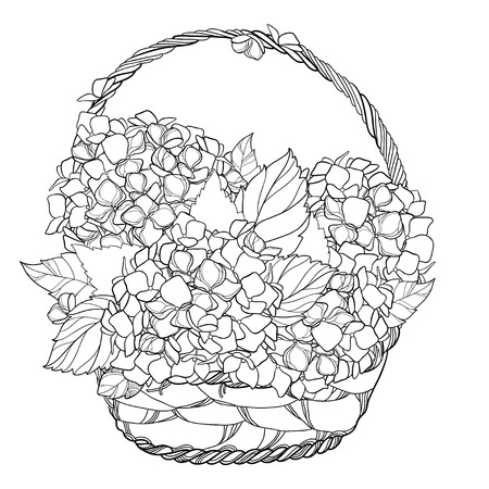 Wicker basket with bouquet of outline. Contour plant Hydrangea for summer design or coloring book. Ilustrace
