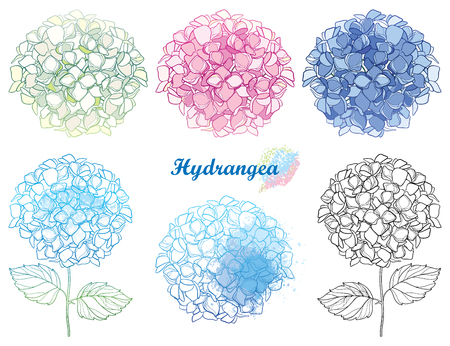 Hand drawn set of outline flower bouquet of flowers isolated on white background. Contour ornamental garden plant Hydrangea for summer design.