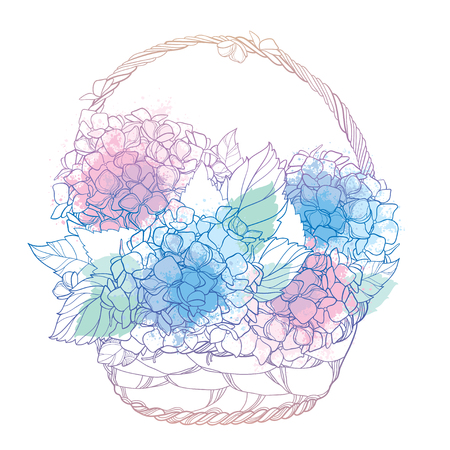 Wicker basket of flowers. Contour plant Hydrangea for summer design.