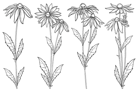 Rudbeckia hirta or black-eyed flower background. Contour Rudbeckia flowers for summer design or coloring book. Çizim