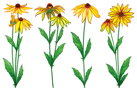 Rudbeckia hirta or black-eyed flower background, isolated on white background. Contour rudbeckia flowers for summer design.