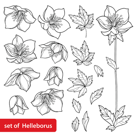 Set with outlin Helleborus in black isolated. Ornate flowers for spring coloring book. Illustration