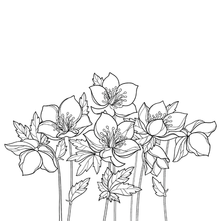 Bunch with outline Helleborus in black isolated on white background. Flower bunch in contour for spring coloring book.