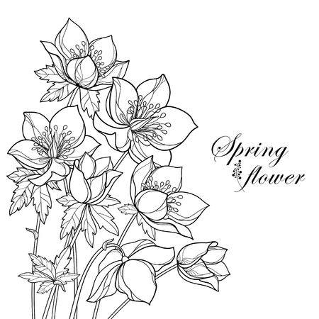 Corner bouquet with outline Helleborus isolated. Flower bunch for spring design or coloring book. Vector Illustration