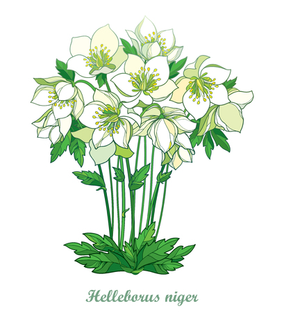 Bouquet with outline Helleborus niger isolated on white background. Contour flower bunch for spring design.