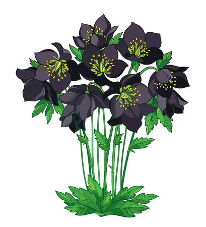 Bouquet with outline Helleborus, bud and leaves isolated on white background. Ornate flower bunch in contour style for spring design. Vector Illustration