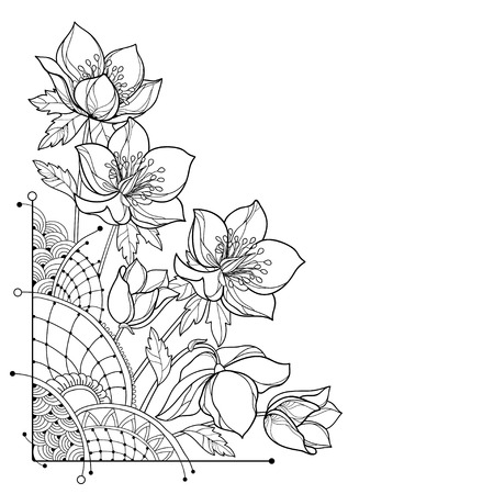 Corner of bouquet of Helleborus flowers on white background. Flower bunch for spring design or coloring page.