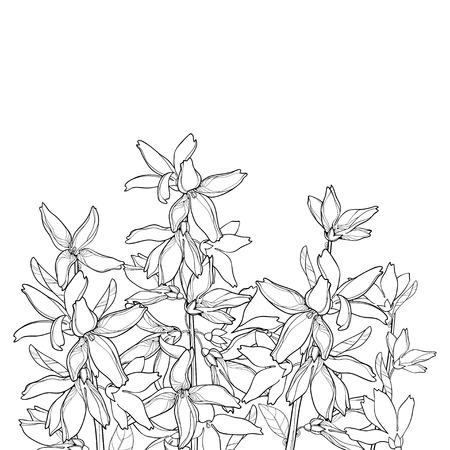 Forsythia garden plant isolated on white background.