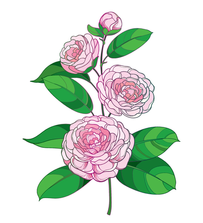 Camellia flower in pastel pink, isolated on white background. Vector Illustratie