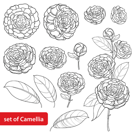 Set with camellia flower bunch on white background.