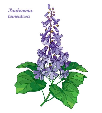 Blossoming Paulownia tree for spring design.