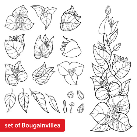 Bougainvillea set in contour for summer coloring book.