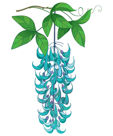 Bunch of turquoise Jade vine isolated.