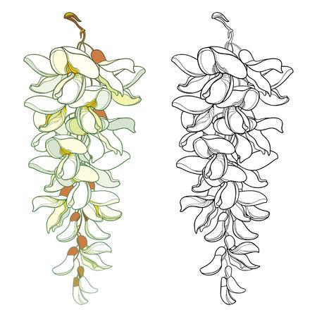Acacia bunch isolated on white background. Illustration