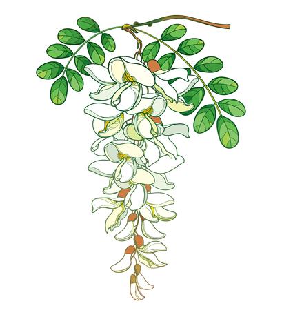 Branch of white Acacia with green leaves isolated on white background.