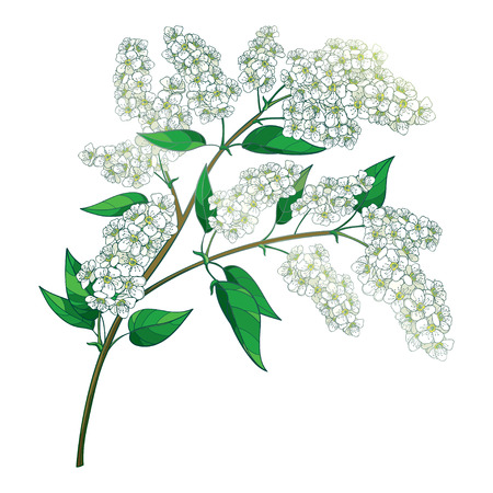 Contour blooming bird cherry twig for spring design.