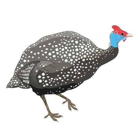 Pintade sauvage ou oiseau de volaille isolé sur fond blanc. Vecteurs