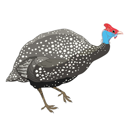 Guinea fowl wild or poultry bird isolated on white background.
