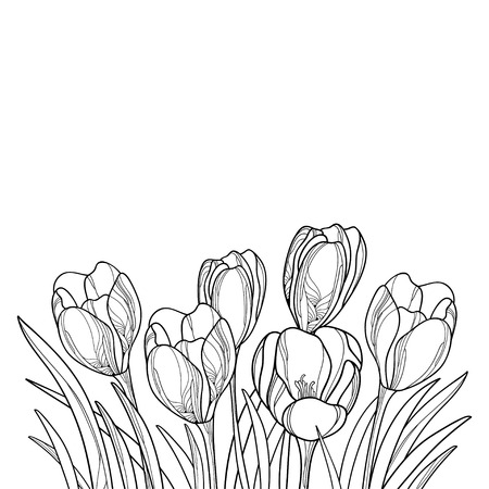 Bouquet with crocus or saffron flower for spring coloring book.