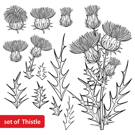 Set with outline welted Thistle or Carduus plant isolated.
