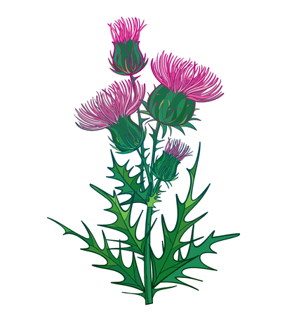 Branch with outline welted Thistle or Carduus plant isolated. Иллюстрация