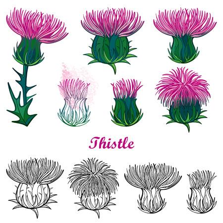 Conjunto con contorno cardo o flor de Carduus.