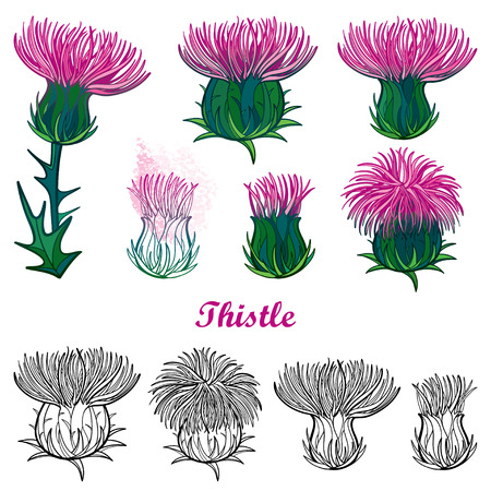 Set with outline welted Thistle or Carduus flower. 写真素材 - 120692162