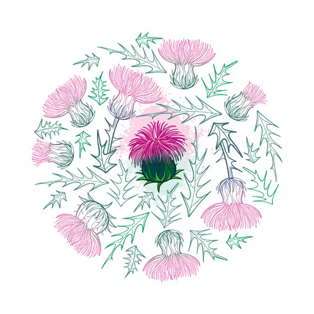 Round bunch of Thistle or Carduus plant isolated.
