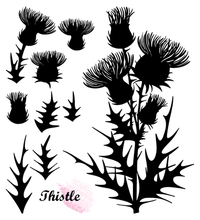 Set with Thistle or Carduus plant, bud and flower isolated.